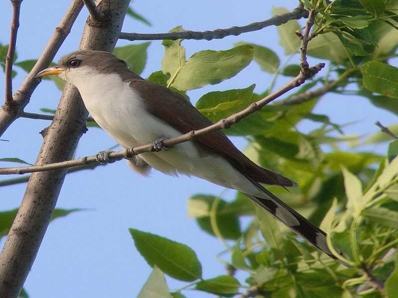 western-yellow-billed-cuckoo