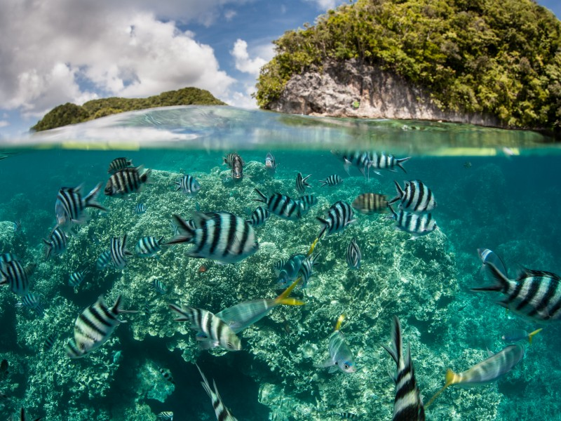 Damselfish swim in shallow water in Palau's inner lagoon.