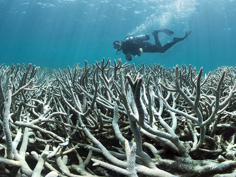 A diver checks out the coral bleaching at Heron Island in February 2016. This area was one of the first to bleach at Heron Island,  located close to the southern most point of the Great Barrier Reef.