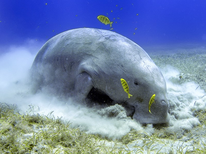 A dugong digs in seagrass for food. Earthjustice is fighting to protect the endangered Okinawan dugong.