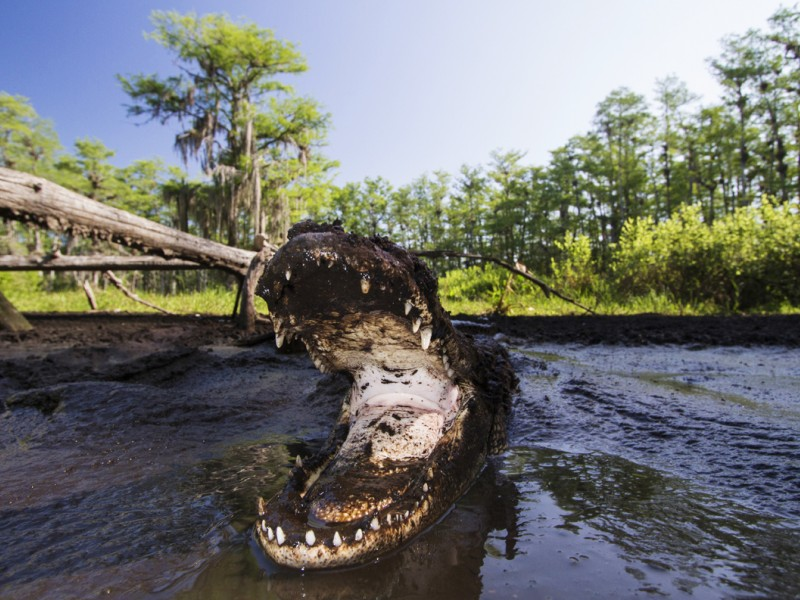An American alligator defends its mud hole during the height of dry season in Big Cypress National Preserve.