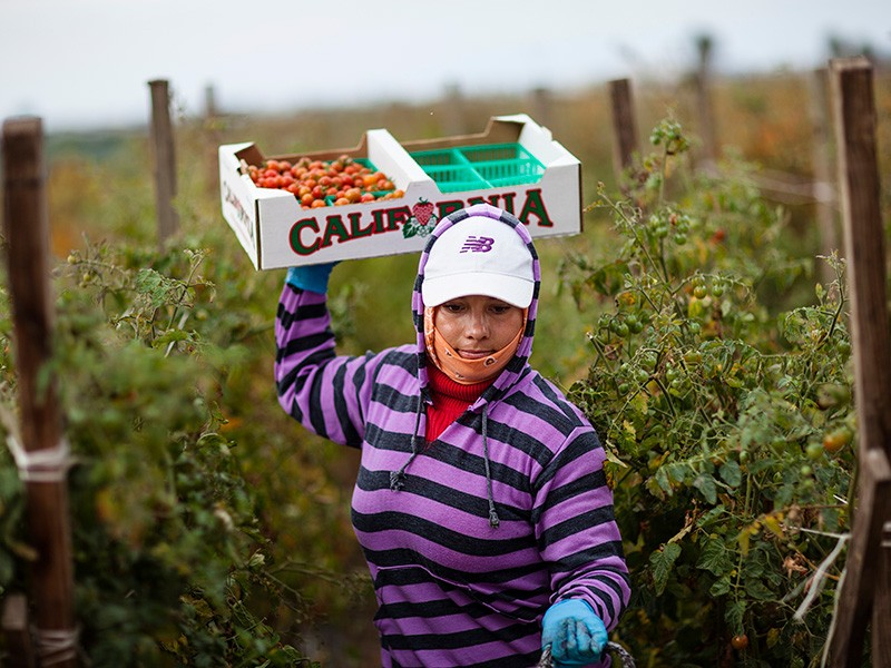 A farmworker harvesting tomatoes in a Southern California field.
