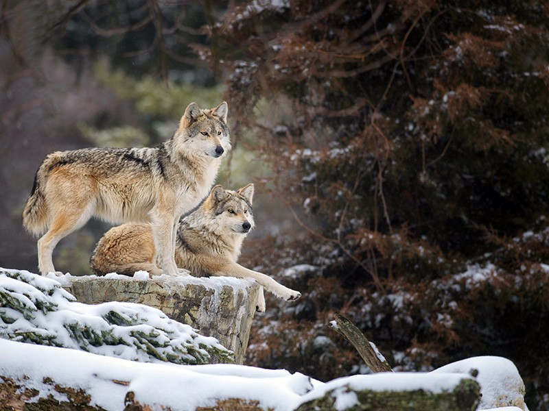 A pair of Mexican gray wolves (Canis lupus baileyi) look out over a snowy ledge.