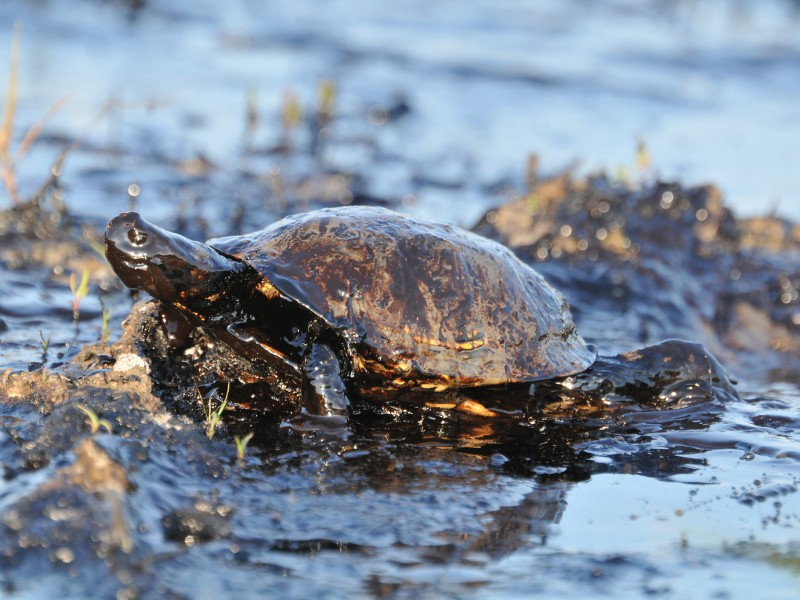 Close-up of turtle covered with petroleum.