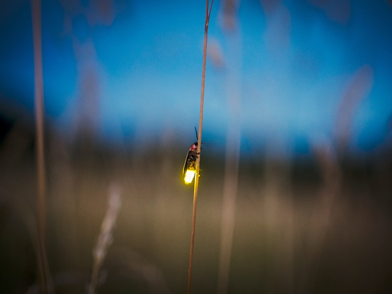 A firefly lights up at dusk.