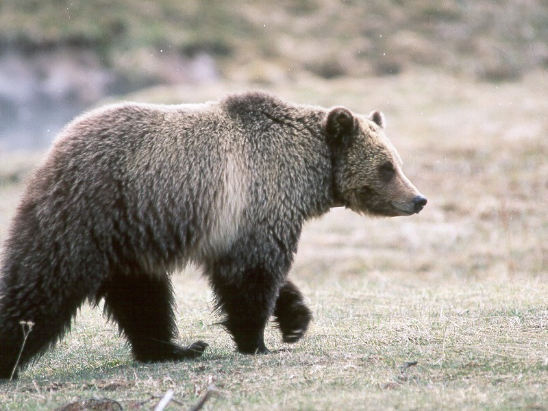 Grizzly Bear in Glacier National Park