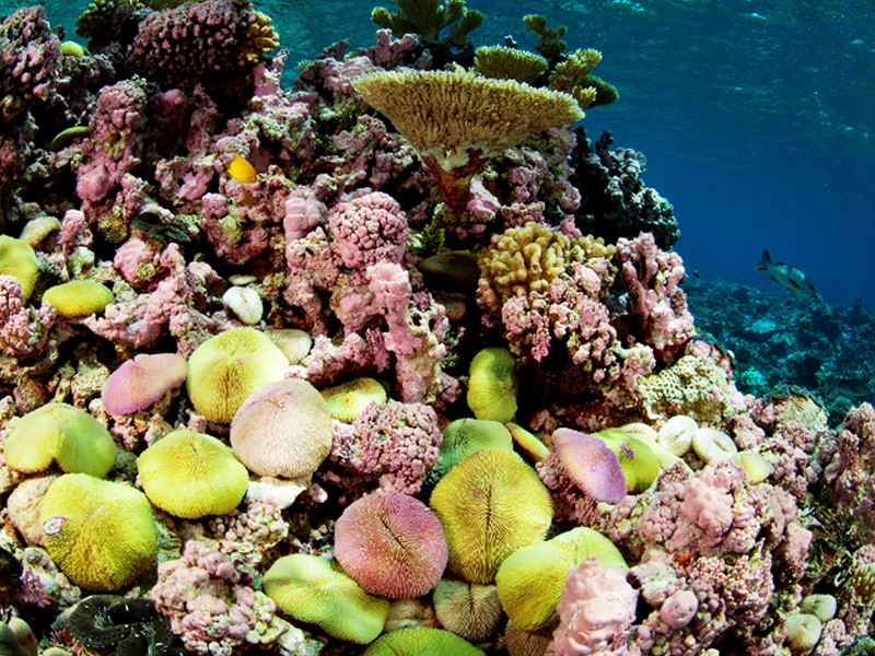 The Pacific Remote Islands Marine National Monument is home to some of the most vibrant, healthy coral reefs in the world, such as Kingman Reef.