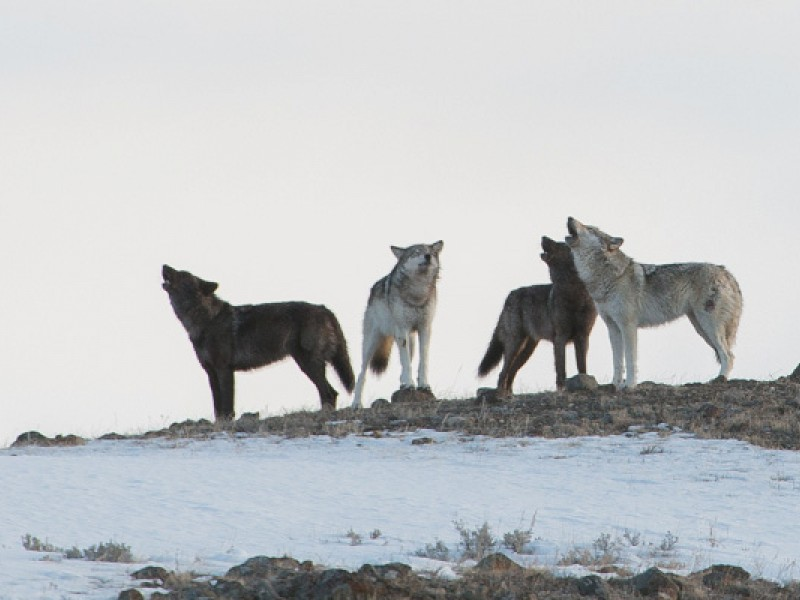 Lamar Canyon wolves in Yellowstone.