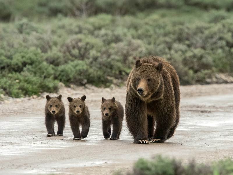 Grizzly 399 and three of her cubs walk down Pilgrim Creek Road in Grand Teton National Park.