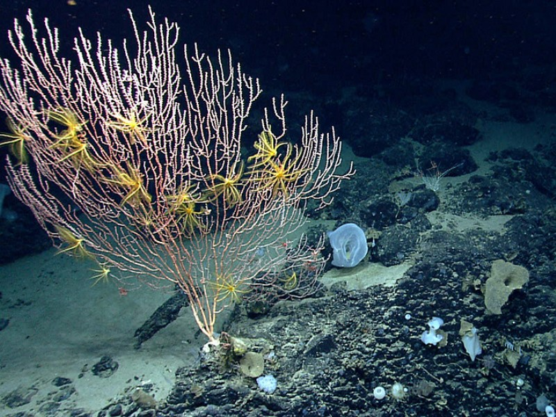 On Mytilus Seamount, a bamboo coral is attached to the black basalt rock formed by a now-extinct undersea volcano.