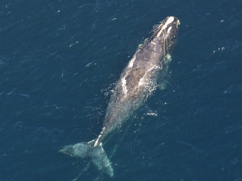 Right_Whale