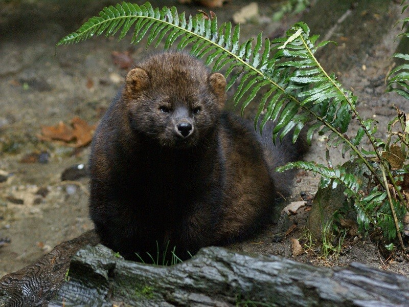 Pacific Fisher