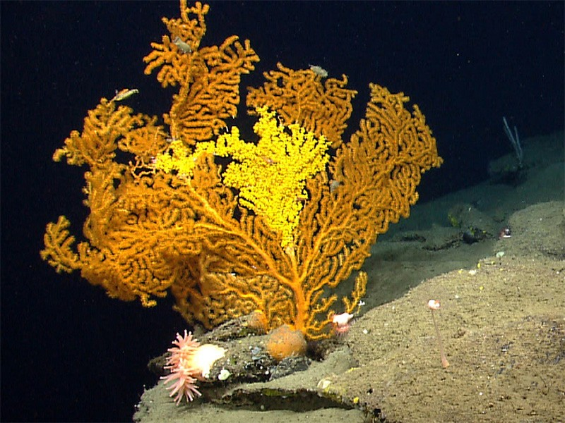 Paramuriceid seafan (octocoral) in Oceanographer Canyon.