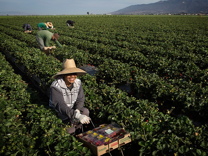 A farmworker harvests strawberries in Salinas, California.