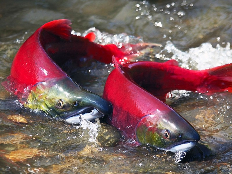 Sockeye salmon make their way back up a river in the Pacific Northwest to spawn.