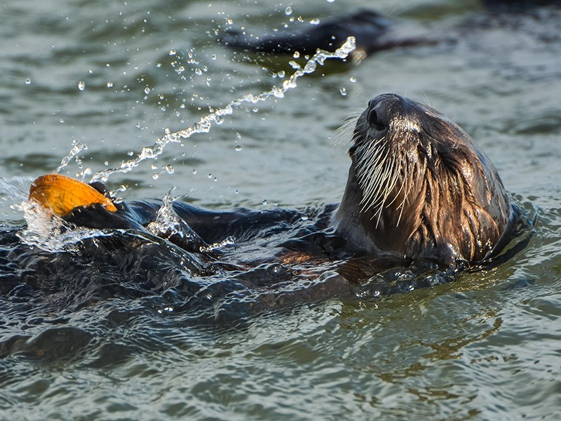 the otters advocate earthjustice