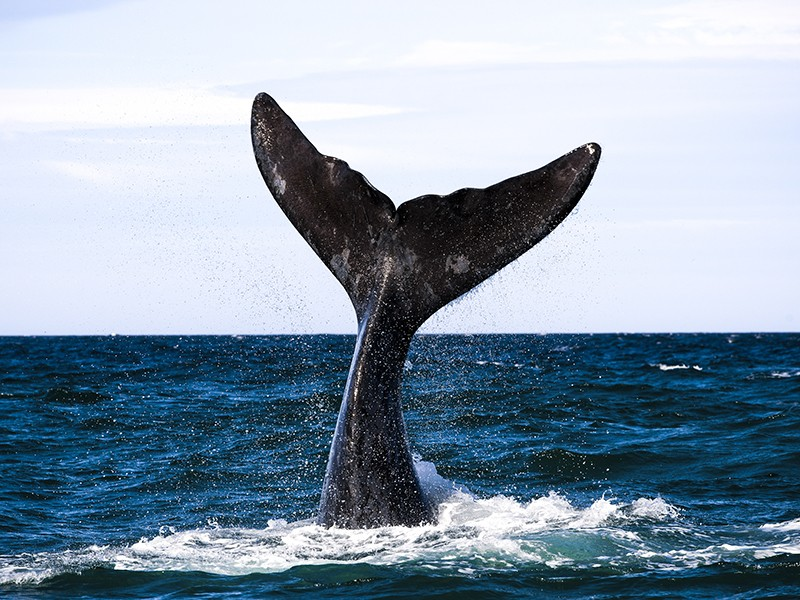 The endangered right whale is among the marine creatures threatened by seismic testing.