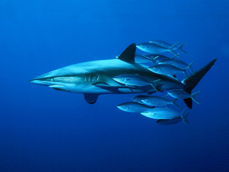 Dusky shark swims about 100 miles south of Cabo San Lucas in the Pacific Ocean.