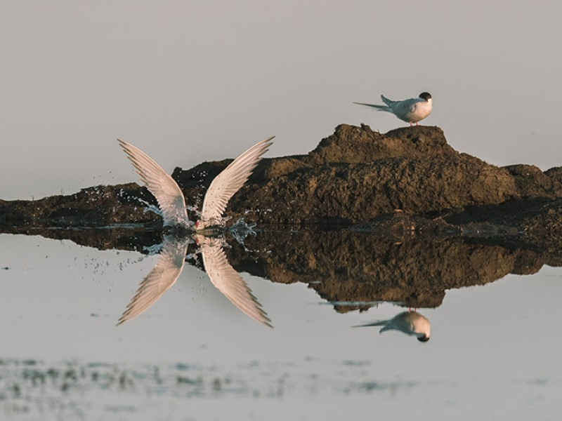 Arctic tern surfaces after fishing in Qupaluk wetland area.