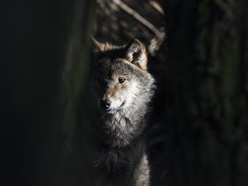 A young gray wolf.