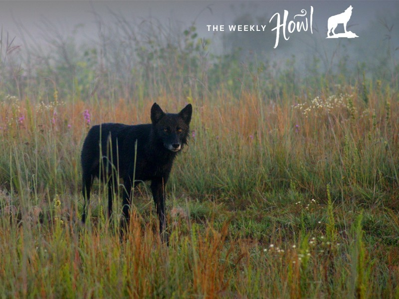 This timber wolf was one of a pair seen near the visitor center at Necedah National Wildlife Refuge on Jan. 12, 2012.