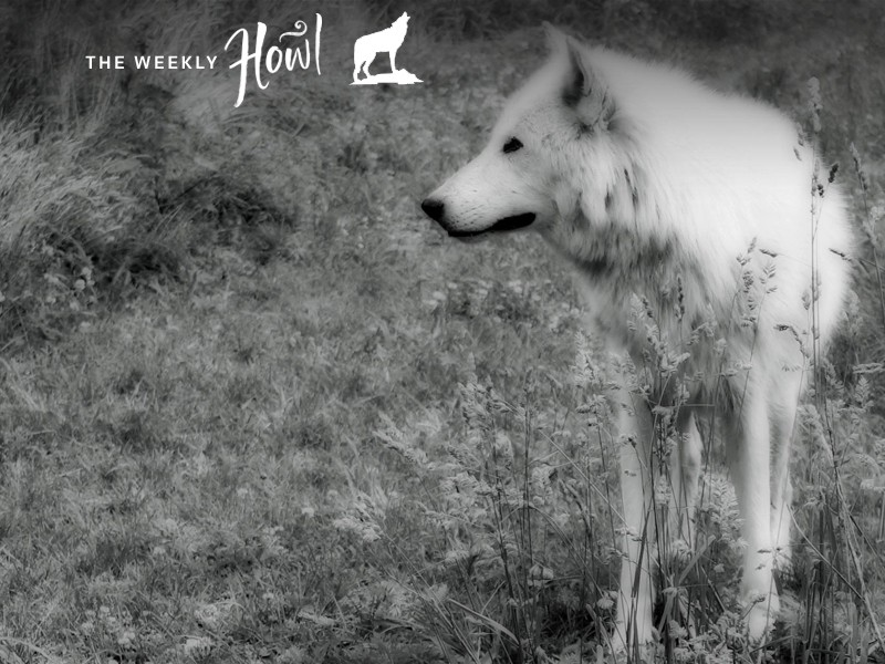 Ahote, a mix of eastern timber and Arctic wolf, is a wolfdog that lives at Howling Woods Farm.