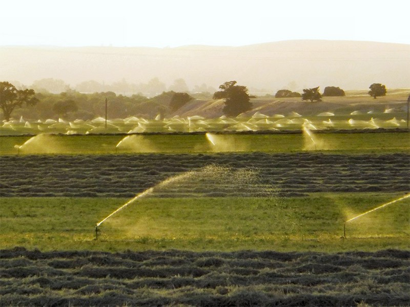 Alfalfa fields. The USDA's decision allows growers to produce alfalfa without restriction or oversight of any kind.
