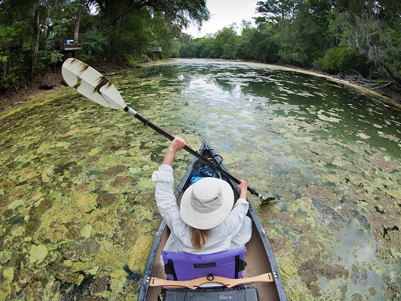 Dense mats of algae cover Santa Fe River near Gainesville, FL during an outbreak on Memorial Day weekend in 2012.