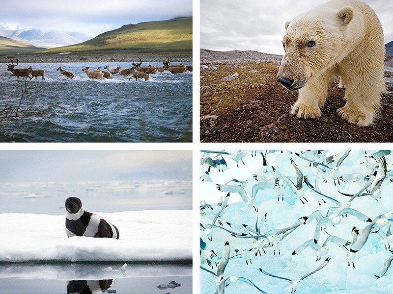 Clockwise from top left: a Porcupine Caribou herd crosses the Kongakut River; a male polar bear; a flock of Kittiwakes, one of many migratory bird species found in the Arctic region; a ringed seal.