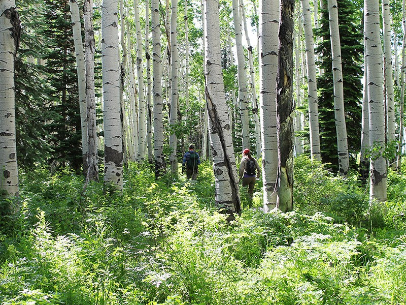 Hikers make their way through aspens in the Sunset Roadless Area.