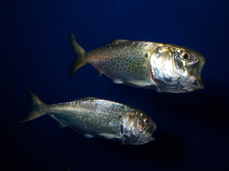 Atlantic menhaden.