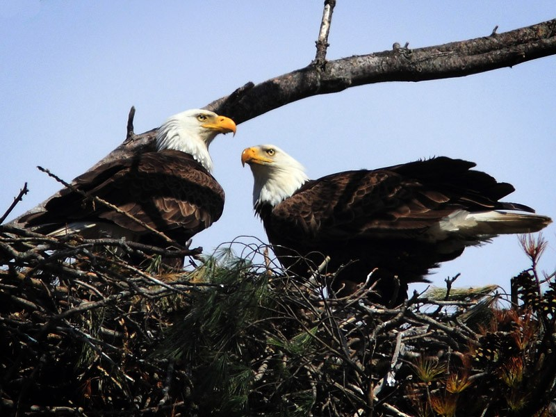 Bald Eagles are still prevalent today in large part thanks to the ESA