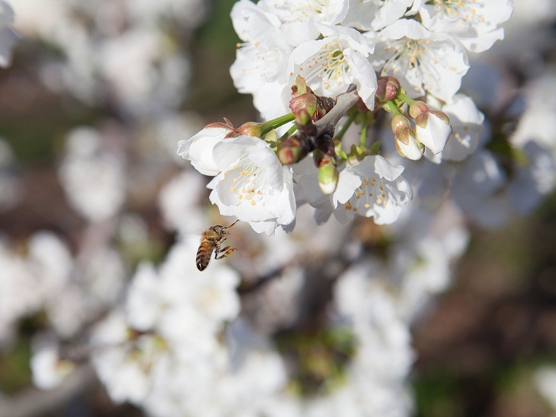 A honey bee alights on a cherry blossom in Stockton, California. Bees and other insects face a global extinction crisis.