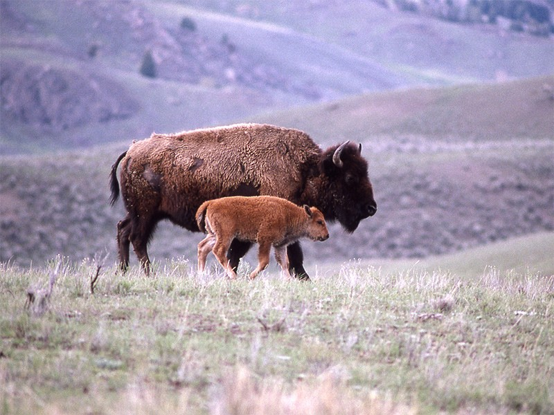 Bison and calf in Yellowstone National Park's Lamar Valley.