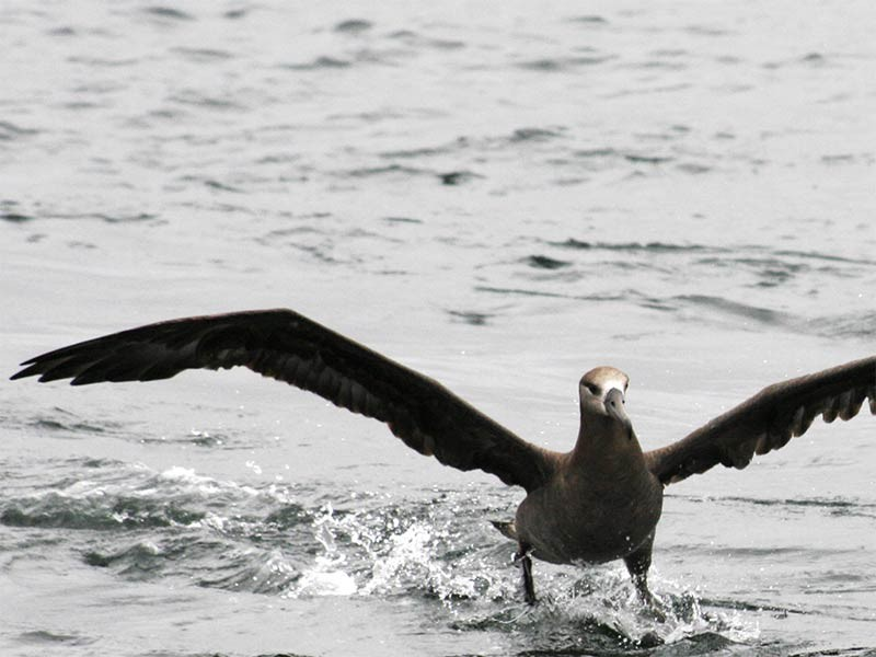 A black-footed albatross.