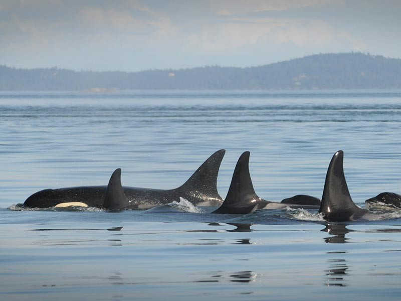A pod of southern resident orcas in Boundary Pass, north of San Juan Island, WA.