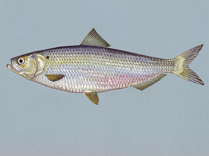 A blueback herring.