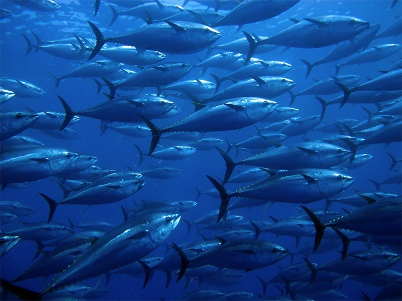 Bluefin tuna are one of the ocean's biggest and most powerful fish.
