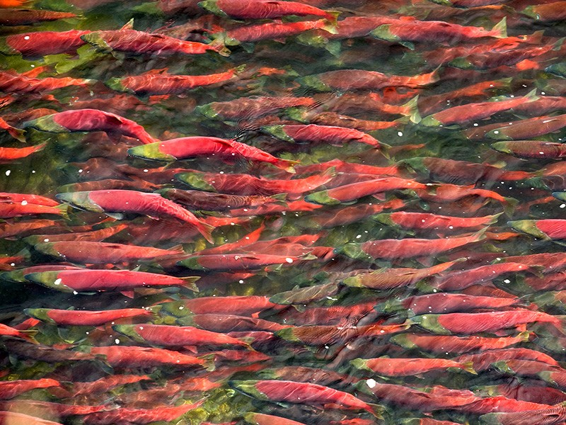 The Bristol Bay watershed is rich with salmon, wildlife and salmon-based Alaska Native cultures and is home to the largest sockeye salmon fishery in the world.