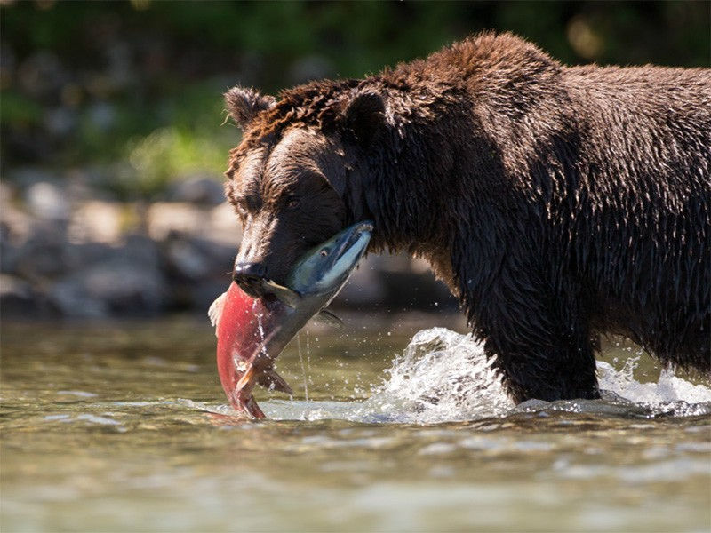Bear with a meal of salmon.