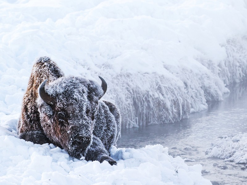 A bison sits next to a hot spring in winter, covered in snow. The hot spring helps them stay warm even in the coldest times of the year.