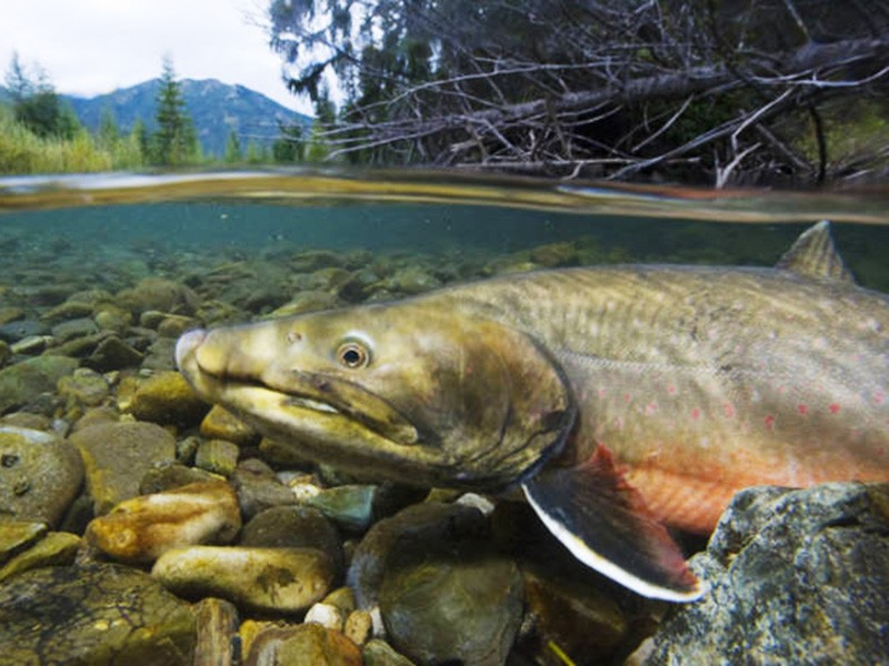 "A bull trout in British Columbia's Wigwam River drainage, the headwaters of the Kootenai River, known as the ""crown jewel"" of bull trout spawning areas."