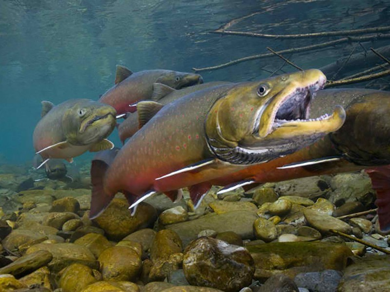 Cold, clean streams are prime habitat for the  threatened bull trout, whose historic range has shrunk by half.