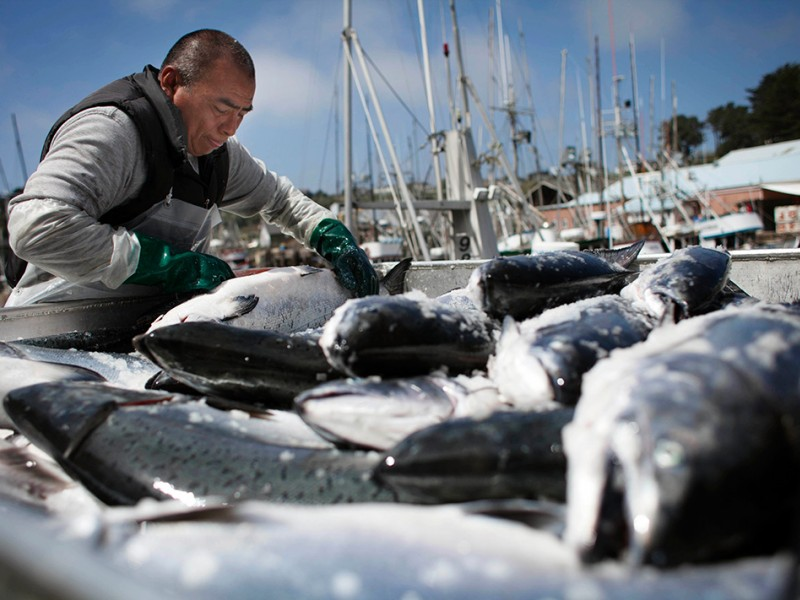Jose Chi unloads Chinook salmon from fishing boats in Ft. Bragg, CA.