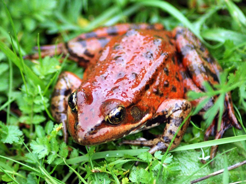 The California red legged frog.