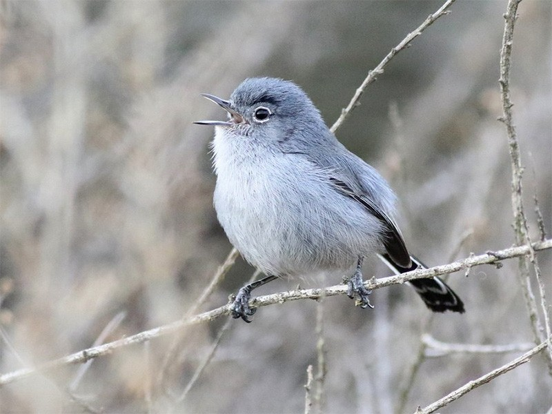 A California gnatcatcher (Polioptila californica) at Dana Point, California.