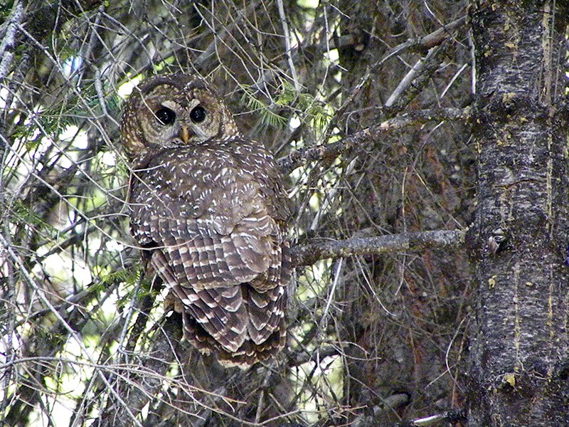 A California spotted owl in the Stanislaus National Forest.