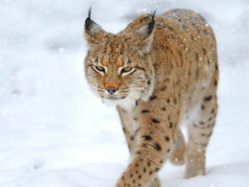 protecting habitat for the rare canada lynx earthjustice