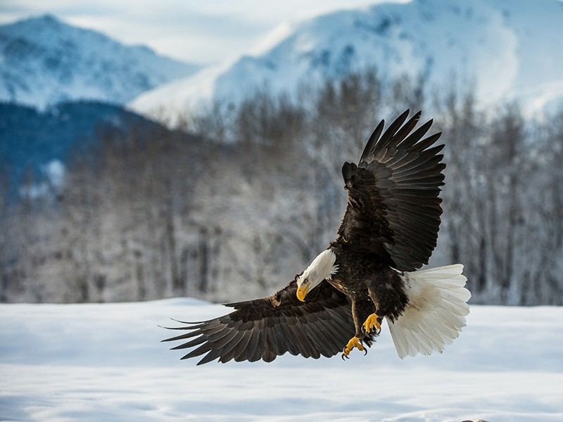 A bald eagle lands in the snow at the edge of the Chilkat River, near Haines, Alaska.