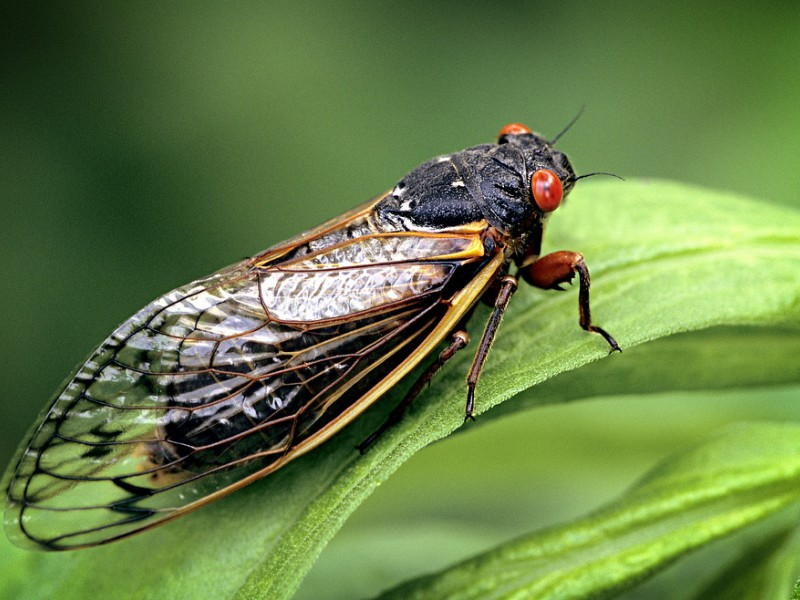 Coming soon to a backyard near you: This cicada and billions of his closest friends.